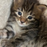 Отдам в хорошие руки котят., Новосибирск