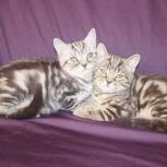 Мраморные страйтики котята 6 месяцеи, Новосибирск