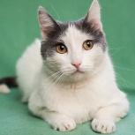 Тихон - красивый котик с янтарными глазами!, Новосибирск