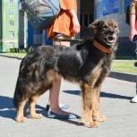 Ищу передержку для собаки, Новосибирск