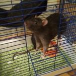 Отдам крыс с клеткой, Новосибирск