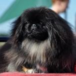 Потерялся пес пикинес!, Новосибирск