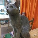 Продам русскую голубую котодевочку 4 месяца, Новосибирск