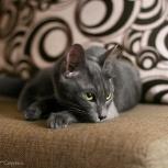 Кошка, фенотип русская голубая, Новосибирск