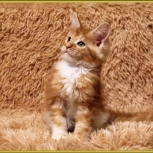 Кошечка мейн-кун из питомника Iz Doma Bennetti, Новосибирск