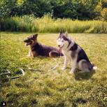 Дрессировка для взрослых собак, Новосибирск