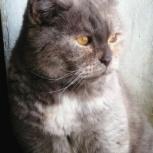 Тиана шотландская кошка с редким окрасом, Новосибирск