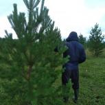 Сосна живая новогодняя елки, Новосибирск