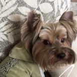 Пропала собака! Йорк, Новосибирск