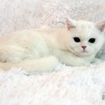 Белый шотландский котенок, Новосибирск