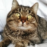Крупный кот Тимофей 1,5года,кастрат, Новосибирск