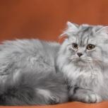 Кошка мраморная красотка, Новосибирск
