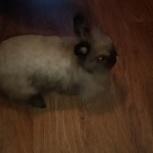 Продам карликового кролика, Новосибирск