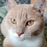 Кот ищет любящего и ответственного хозяина!, Новосибирск