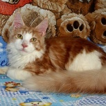 В продаже котик мейн-куна 6 мес., Новосибирск