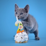 Продажа котят породы русская голубая, Новосибирск
