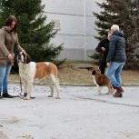 Дрессировка собак. Шоу-тренинг, ОКП., Новосибирск