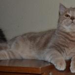 Шикарный британский кот, Новосибирск