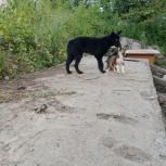 Хозяин найдись для овчарки черного окраса, Новосибирск