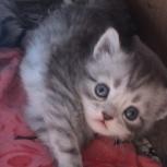 Котята счастья от  персидской кошки и британца, Новосибирск