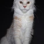 Кошечка Мейн Кун Алиса, Новосибирск
