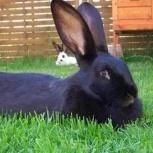 Кролики черно-бурой породы, Новосибирск