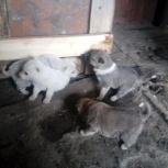 Продам щенков з/с лайки, Новосибирск