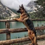Инструктор. Социализация и дрессировка собак, Новосибирск