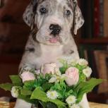 Шикарные щенки дожата, Новосибирск