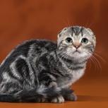 Шотландские клубные котята, Новосибирск