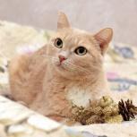 Чудесная персиковая красотка кошка в добрые руки!, Новосибирск