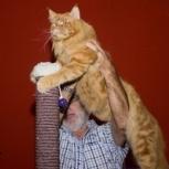 Замурчательный котик из питомника Vaal-Cat, Новосибирск