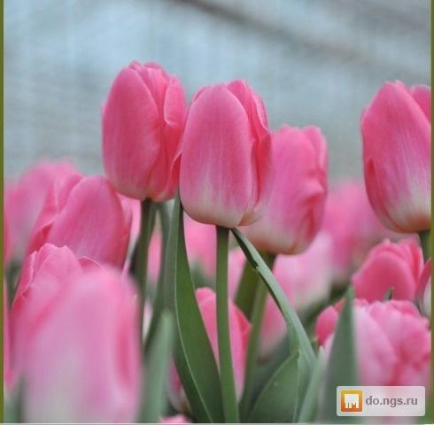 Купить тюльпаны оптом черногорск цветы на заказ владимир