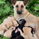Милые щенки, Новосибирск