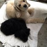 Найден кокер спаниель со щенком, Новосибирск