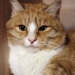 Крупный молодой кот Абрикос, кастрат, Новосибирск