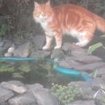 Потерялся  рыжий кот  на даче в Мошковском районе, Новосибирск