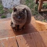 Кот  с бархатистой шубкой ищет добрые руки, Новосибирск