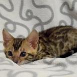 Продам котят мини -леопардов, Новосибирск