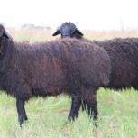 Продам овец эдильбаевской породы, Новосибирск