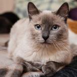 Голубоглазая кошка Симона ищет дом, Новосибирск