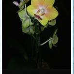 Орхидея, Новосибирск