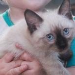 Продам сиамского котенка, Новосибирск