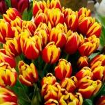 Тюльпаны EXTRA оптом Красноярск, Абакан, Новосибирск (сорт Dow Jones), Новосибирск