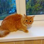 Отдам рыжего молодого кота, Новосибирск