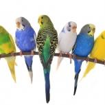 Волнистые попугаи Калининский район, Новосибирск