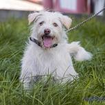 Собачка Белка,в холке 40, Новосибирск