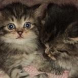 Котята Счастья от персидской кошки, Новосибирск