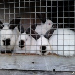 Калифорнийские кролики, Новосибирск