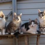 Продам котят породы норвежская лесная, Новосибирск